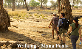 Walking safaris, Mana Pools National Park, Zimbabwe, Camp Zambezi