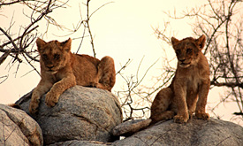 Mashatu Game Reserve Safaris