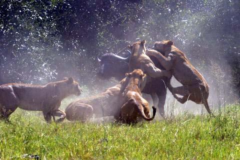 Lions Killing Prey