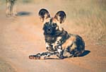 Makanyane Safari Lodge, African Wild dog