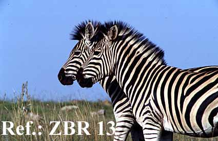 Zebra Scientific Name African Wildlife Pictu...